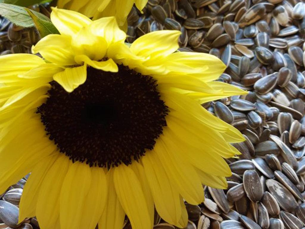 太陽を求めて咲く花ヒマワリ